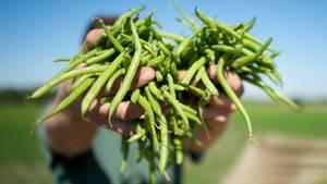 Bohnen - eingeweckt können sie Vergiftungen auslösen