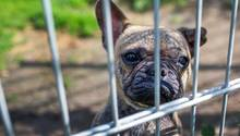 Französische Bulldogge in einem Zwinger
