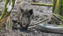 Nachrichten aus Deutschland: Im Ostalbkreis spazierte ein Wildschwein in ein Krankenhaus