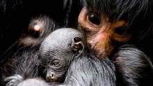 """17. März: Dunkle Wesen  Amsterdam, Niederlande: Eine Braunkopfklammeraffen-Mama hält ihr Neugeborenes im """"Artis Zoo"""" in Amsterdam. Der Nachwuchs wurde am 13. März geboren, sein Geschlecht ist noch unbekannt."""