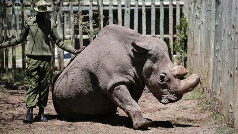 Sudan im Mai letzten Jahres im Wildtierreservat Ol Pejeta in Kenia