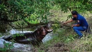 Nilpferd Tyson badet in einem See und schnappt nach einem Ast, den ihm ein Einheimischer in Jeans und blauem Polo-Hemd hinhält.