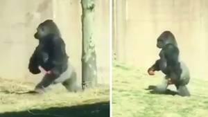 Gorilla auf zwei Beinen
