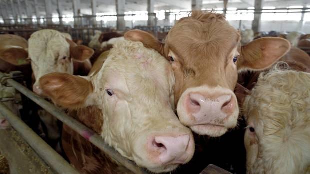 Zwei Kühe (Symbolbild)