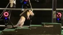 Diese Ratte kann jetzt trotz ihrer Lähmung laufen