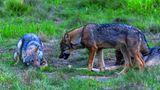 Die Reste der Mahlzeiten wie etwa Knochen sind beliebte Spielzeuge, die fast jeder junge Wolf haben möchte und die so Anlass zum Streit bieten. Drohen hilft dabei, eine ernste Auseinandersetzung zu vermeiden. Eine deutliche Körpersprache ist wichtig für die Verständigung unter den Artgenossen.