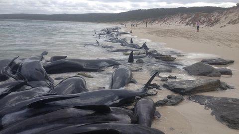 Kurzflossen-Grindwale an Australiens Küste gestrandet