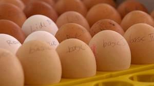 Gewöhnliche Eier aus sechs Supermärkten warten darauf, bebrütet zu werden.