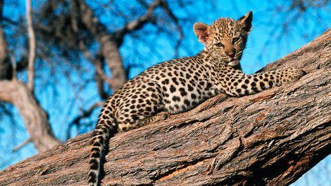 Im Hochsitz: Ein Leopard hat sich in die Krone eines Baumes zurückgezogen.
