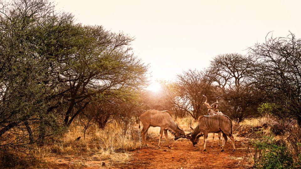 Unterwegs im Okonjima Nature Reserve: Zwei Antilopen messen ihre Kräfte.