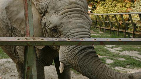 Ein trauriger Elefant im Gehege.