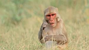 Ein Rhesusaffe der Gattung Makaken in Indien (Symbolbild)