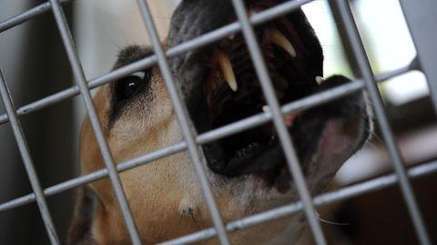 Ein bellender Staffordshire-Terrier in einem Zwinger.