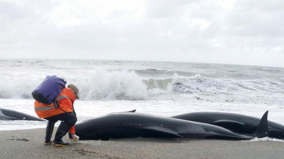 Ein Helfer markiert die auf der Südinsel Neuseelands gestrandete Grindwale