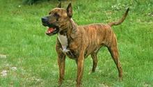Ein Hund der Rasse American Staffordshire-Terrier