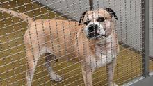 Hinter einem Gitter aus Edelstahl steht Chico, ein Staffordshire-Terrier-Mischling, im Zwinger eines Tierheims