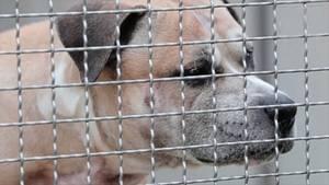 Kampfhund Chico in einem Tierheim in Hannover