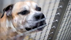 Der Staffordshire-Terrier-Mischling Chico wird von Tierpfleger Wolfgang K. auf dem Gelände des Tierheims Krähenwinkel an der Leine ausgeführt, um ihn durch Claus Reichinger (Tierschutzverein München) begutachten zu lassen.