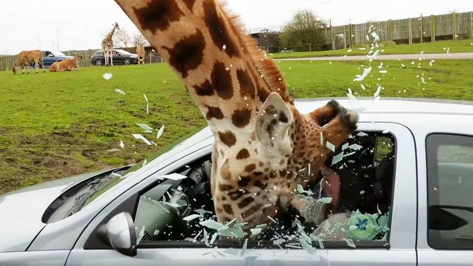Vorfall in Safari Park: Schock für Besucher: Giraffe lässt Autofenster zerbersten