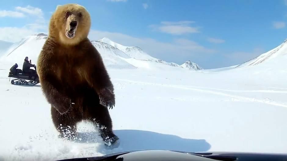 Gefährliche Begegnung: Bären mit Schneemobilen jagen – keine besonders gute Idee