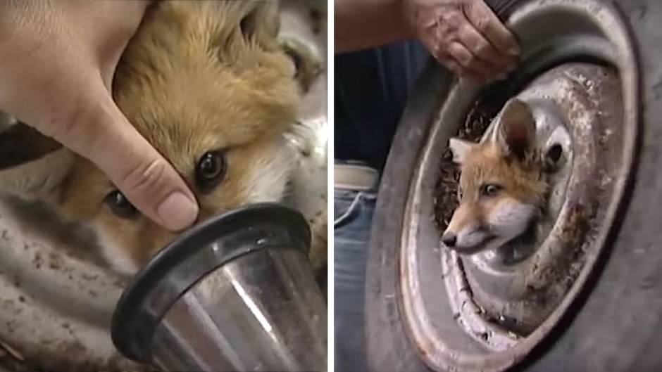 Ungewöhnliche Rettung: In der Falle – dieser Fuchs steckt mit dem Kopf in einem Autoreifen fest