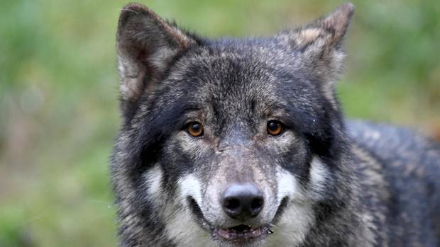 Wolf Alexander aus dem Wildpark Eekholt