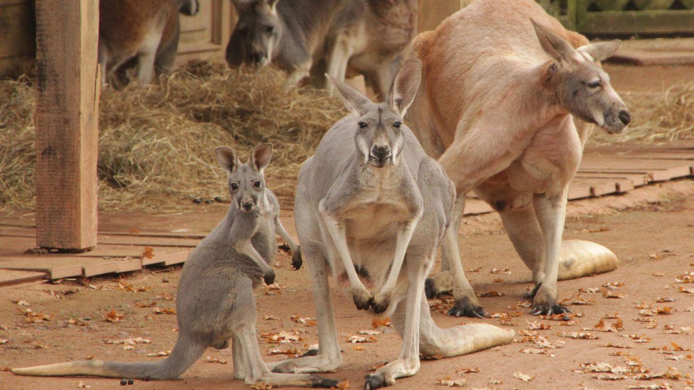 Känguru im Zoo mit Ziegelsteinen getötet - dahinter steckt grausame Methode