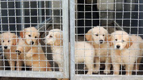 Hundewelpen hinter einem Gitterzaun