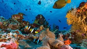Gesunde Korallenriffe wie hier auf den Malediven sind ein üppiger Lebensraum und bedecken über 280. 000 Quadratkilometer Meeresboden