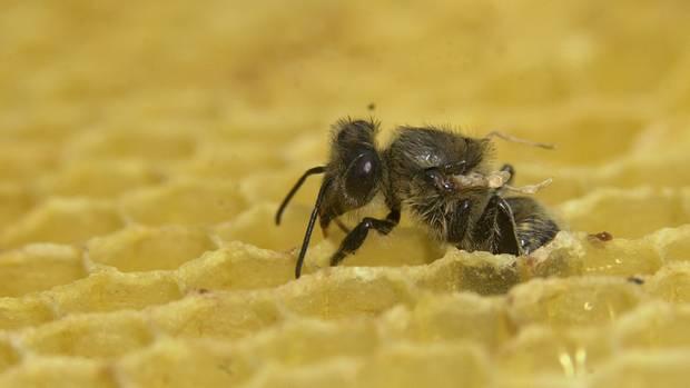 Biene mit deformierten Flügeln