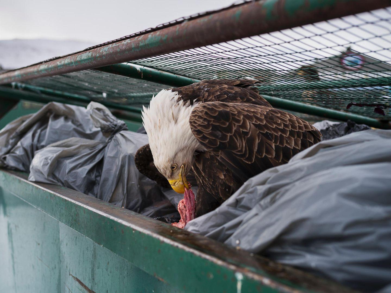 """Fotograf: Corey Arnold     14. Februar 2017    1. Preis im Segment """"Einzelfotos""""  Weißkopfseeadler frisst Fleischabfall im Müllcontainer eines Supermarkts in Dutch Harbor, Unalaska, Alaska, USA.    Durch konzertierte Schutzmaßnahmen kommt dieser früher vom Aussterben bedrohte Seeadler wieder viel öfter vor. In Unalaska gibt es 5000 Einwohner und 500 Adler. In Dutch Harbor werden jährlich rund 350 Millionen Kilo Fisch angelandet. Die Adler werden von den Fischkuttern angelockt, wühlen aber auch gern im Müll und klauen nichts ahnenden Fußgängern Einkaufstüten aus den Händen. Darum nennt man das USA-Wappentier hier auch die """"Tauben von Dutch Harbor""""."""