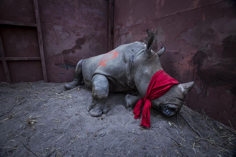 """Fotograf: Neil Aldridge     21. September 2017    1. Preis im Segment """"Einzelfotos""""  Junges Breitmaulnashorn, betäubt und mit verbundenen Augen, kurz vor seiner Auswilderung im Okavango-Delta, Botswana. Zum Schutz vor Wilderern war es aus Südafrika umgesiedelt worden.    Das südliche Breitmaulnashorn gilt als potenziell gefährdet. Für pulverisiertes Rhinozeros-Horn werden besonders in Vietnam und China hohe Preise gezahlt, weil es als Heilmittel gilt, mancherorts wird es aber auch als Partydroge konsumiert. Darum werden Preise von 20.000 Euro bis 50.000 Euro pro Kilo gezahlt. Die Zahl der in Südafrika von Wilderern erlegten Tiere stieg von 13 Tieren jährlich 2007 auf den traurigen Rekord von 1215 im Jahr 2014. Zwar ist sie seitdem leicht rückläufig, aber die Verluste bleiben untragbar. Botswana rettet Nashörner von den Brennpunkten der Wilderei in Südafrika und siedelt sie in die eigenen Naturschutzgebiete um."""