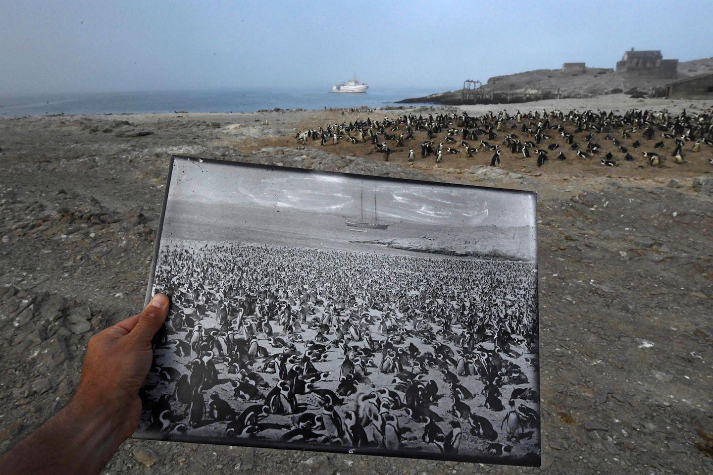 """Fotograf: Thomas P. Peschak     1. März 2017    3. Preis im Segment """"Einzelfotos""""  Diese historische Aufnahme einer Brillenpinguinkolonie vom Ende des 19. Jahrhunderts zeigt, wie stark die Population, einst mehr als 100.000 Tiere groß, bis heute geschrumpft ist. Fotografiert wurde derselbe Ort auf der Insel Halifax, Namibia.    Der Brillenpinguin, früher der häufigste Meeresvogel des südlichen Afrikas, gilt heute als gefährdet. Insgesamt beträgt die Brillenpinguin-Population nur noch 2,5 Prozent des Stands von vor 80 Jahren. Wie von der Universität Kapstadt auf der Insel Halifax durchgeführte Studien zeigen, hat sich der Bestand in den letzten 30 Jahren mehr als halbiert.    Eine historische Ursache für den Rückgang war die Nachfrage nach Guano (als Düngemittel verwendeter Vogelkot). Die Tiere bauen ihre Nester in alte Guano-Ansammlungen. Als weitere Ursachen werden der Verzehr der Eier durch den Menschen und die Überfischung der Gewässer in der Umgebung gesehen. Sardinen und Sardellen, die wichtigsten Beutefische der Pinguine, kommen hier im Meer kaum noch vor."""