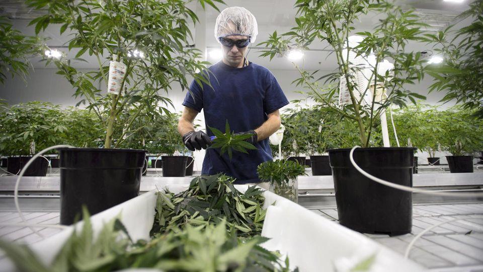 Hanfpflanzen in der Halle des kanadischen Produzenten Canopy Growth. Kunstlicht, gleichmäßige Temperatur und Feuchtigkeit sorgen für den relativ konstanten Wirkstoffgehalt und vier bis fünf Ernten pro Jahr