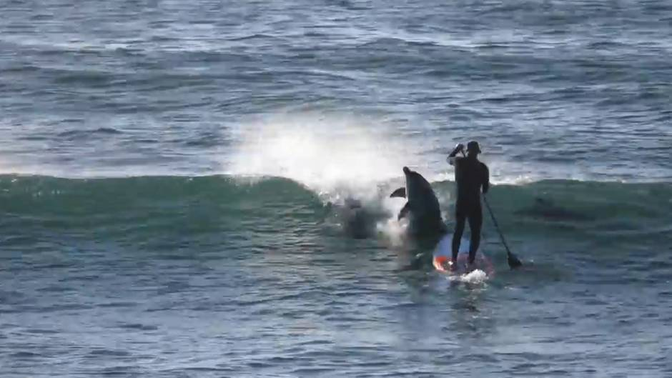 Tierische Begegnung: Augen auf! Delfin schubst Paddler vom Brett