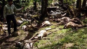 Bad Wildbad im Schwarzwald: 40 tote Schafe durch Wolf-Attacke