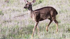 Fotos, die erschrecken: Ein Wildtier mit Pfeil im Körper im US-Bundesstaat Oregon