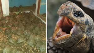 Eingepfercht in eine Villa: 10.000 seltene Schildkröten entdeckt