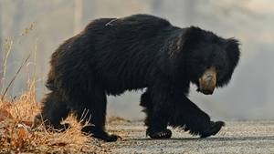 Ein Bär überquert eine Straße in einem indischen Nationalpark (Symbolbild). Im Bundesstaat Odisha kam ein Mann bei dem Versuch ums Leben, ein Selfie mit einem der wilden Tiere schießen.