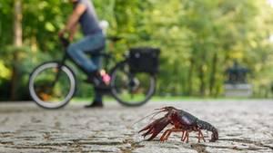 Vermehrt sich rasant in den Seen des Berliner Tiergartens: ausgesetzte Exemplare desSumpfkrebses, der eigentlich im Süden der Vereinigten Staaten und Nordmexiko vorkommt.