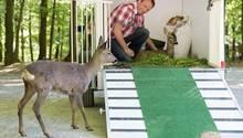 Rehkitz Bambi liegt in einem Anhänger auf Stroh und Gras