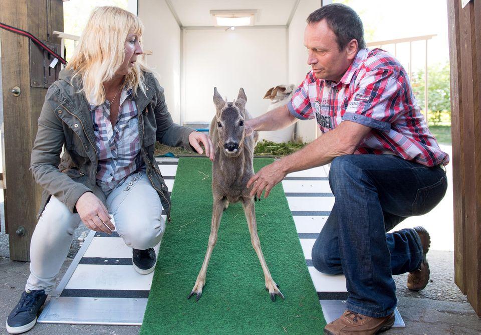 Etwas x-beinig und verängstigt steht Bambi zwischen seinen Zieheltern Anja Pahlen und Peter Göbel