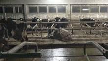 Neben lebenden Rindern liegen tote Tiere.