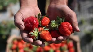 Erdbeersaison 2018