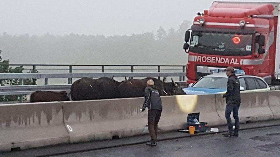 Betäubte Wasserbüffel stehen auf der A3 zwischen dem Dreieck Langenfeld und dem Kreuz Leverkusen