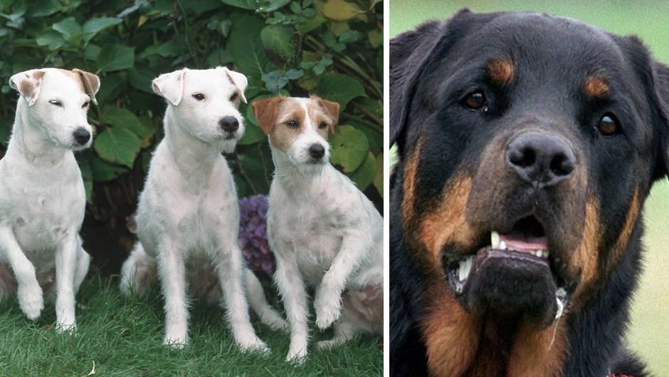 Drei Jack-Russel-Terrier und ein Rottweiler attackierten den Neunjährigen in Amstetten, Österreich