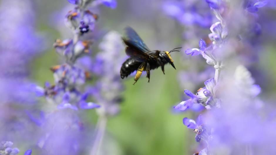 Eine Wildbiene landet auf einer Blüte