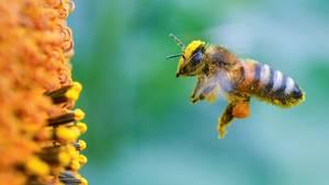 Unterschied 1: Honigbiene versus Wildbiene - es lebe die Vielfalt!  Gestreifter Hinterleib, starke Behaarung: Hier sehen Sie eine klassische Honigbiene bei der Arbeit. Die Nektarsammler werden von Imkern gehalten, leben in Bienenstöcken und gehören alle einer Art an, der Apis mellifera.    Wildbienen zeichnen sich durch ihre Vielfalt aus: In Deutschland allein gibt es 600, weltweit sogar 20.000 verschiedene Arten. Und sie tragen so klangvolle Namen wie Zottelbiene (Panurdus), Schneckenhausbiene (Osmiabicolor) oder Mörtelbiene (Megachile).