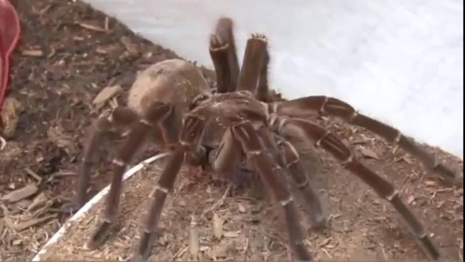 Goliath-Spinne: Diese Riesen-Spinne jagt auch Menschen ohne Phobie Angst ein