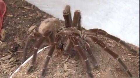 Edinburgh: Zoo bietet Seminar gegen Spinnenphobie an